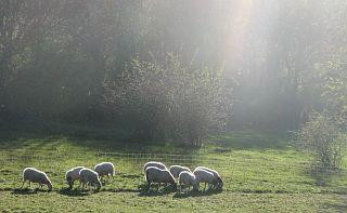 Moutons02