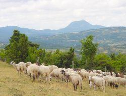 Moutons05
